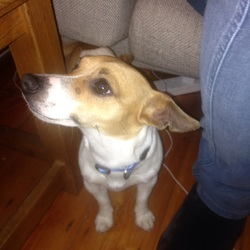 Found dog on 07 Sep 2015 in Inchicore Dublin. Lovely miniature jack Russell. Male. Ca 1 year old. Found in inchicore. No collar, no chip but nails painted so must be loved by someone! He had collar on in photo but not when found.