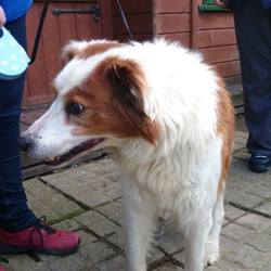Found dog on 08 Apr 2014 in dunleer. He was found a few days ago in the Dunleer area. Unfortunately he's not microchipped. If you know him or his owners please contact the Sanctuary on 041-9826749.