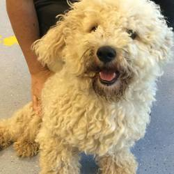 Found dog on 08 Aug 2016 in Ratoath. found...Bischon found in Ratoath...now in Dogs Trust but will be brought to Meath Pound tomorrow...microchipped but not registered. Straying for a few days...please post here if you have any info...thanks...