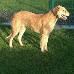 Found dog on 08 Dec 2016 in navan.. found navan..Stray Lurcher in Meath pound