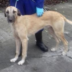 Found dog on 08 Dec 2017 in Ballyboden Rathfarnham. found, now in the dublin dog pound.. Date Found:
