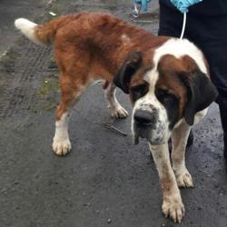 Found dog on 08 Feb 2017 in Athgoe , Co,Dublin. found, now in the dublin dog pound.. Date Found: Tuesday, February 7, 2017 Location Found: Athgoe , Co,Dublin