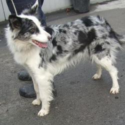 Found dog on 08 Feb 2017 in Tallaght , Bohernabreena. found, now in the dublin dog pound.. Date Found: Tuesday, February 7, 2017 Location Found: Tallaght , Bohernabreena