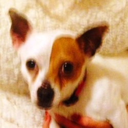 Found dog on 08 Jan 2014 in Monsktown. Small Male Jack Russell type dog found in monsktown area yesterday, Very timid and well groomed little dog.Collar but no tag.  please email me or call the Primrose Hill vets clinic for details
