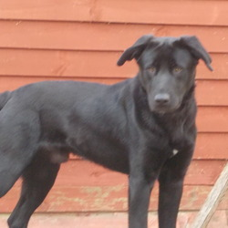 Found dog on 08 Mar 2012 in Bray.  Black Male Labrador/Collie Cross. approx.14mths. Male. Not chipped not neutered. found in Bray.