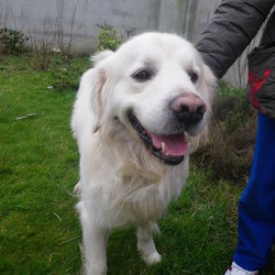 Found dog on 08 Mar 2012 in Oranmore Galway. golden retriever found on 08/03. new collar but not microchipped