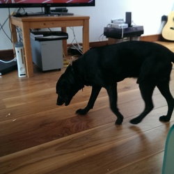 Found dog on 08 Mar 2015 in d4. Black lab. Found in Ballsbridge area.