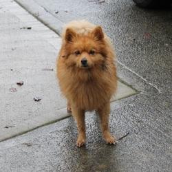 ... Dog on 08 Nov 2012 in Luttrellstown, Castleknock Ireland   Found Dogs
