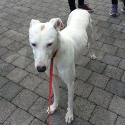 Found dog on 08 Oct 2016 in University College Cork . White Greyhound. Found on University College Cork Campus. Very friendly. No collar. No microchip. Not neutered. Brown spot on head and small brown spots on ears.Seems well fed.