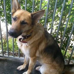 Found dog on 08 Sep 2014 in Borrisokane. Co, Tipperary. german shepherd found today.Female. Not chipped