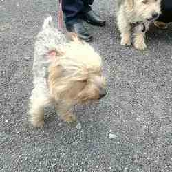 Found dog on 08 Sep 2015 in Glascairn Ratoath. found, now in the meath pound..Yorkshire Terriers ..found running on the Road in Glascairn Ratoath....ref 382 & 383....contact Meath pound on 087 0766766....thanks