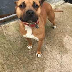 Found dog on 08 Sep 2017 in Proudstown Road Navan. found.. 2yr old Staffie ref 263..found with Daisy ref 262 on Proudstown Road Navan..phone number on their collar out of service....please contact Meath pound on 087 0676766..thanks