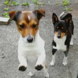 Found dog on 09 Aug 2017 in Huntstown . FOUND, NOW IN THE POUND..Vnow in Westhaven #Clonsilla but need help Anybody out there able to take for tonight?  These 2 were outside Centra Huntstown followd finder she can't hold 'em & pound can't collect til 2moro Pls share No collars MDI Ref CPower 
