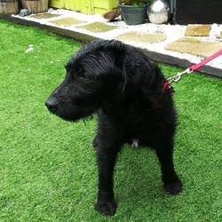 Found dog on 09 Aug 2017 in N4. found, now in the dublin dog pound...Dog in Ashton pound: