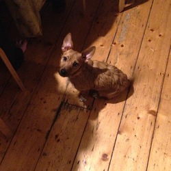 Found dog on 09 Jan 2016 in Lansdowne Road, Ballsbridge. Small female rust coloured terrier cross with very big ears found on Lansdowne Road, Ballsbridge on afternoon of Saturday 9th January 2015. She has white tipped paws and an orange collar with diamonte studs. Very lively and well looked after.