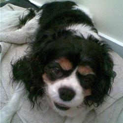Found dog on 09 Mar 2010 in Saggart. Female tri-colour cavalier king charles, wearing red collar. Quite old.