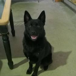 Found dog on 09 Mar 2015 in navan. found .2yr old Elkhound X...straying in Navan for a number of days ref 125...contact Meath Pound...087 0676766..