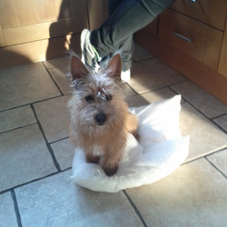 Found dog on 09 Mar 2015 in Tallght. Found! Small light brown terrier in the Tallaght area of Dublin, got on the luas to town