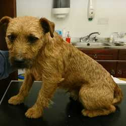 Found dog on 09 Oct 2017 in Clonard Co Meath. found...Found in Clonard Co Meath last week...will be brought to the pound tomorrow. Please contact Meath pound on 087 0676766...thanks