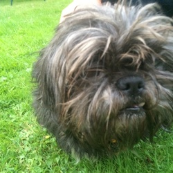 Found dog on 09 Sep 2014 in Ballincollig . Found near MD O Sheas Ballincollig on Tuesday 9th September. Black/grey.. One prominent front tooth.  0867375435