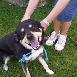Found dog on 09 Sep 2014 in Craughwell, Galway. Male unneutered found. Mix breed poss rottie. No collar, unchipped.  Very friendly.