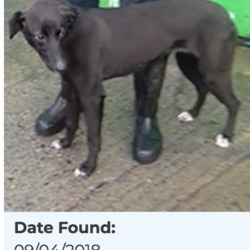 Found dog on 10 Apr 2018 in City West SAGGART. found, now in the dublin dog pound...Date Found: 09/04/2018 Location Found: City West SAGGART