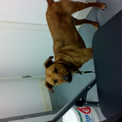 Found dog on 10 Dec 2014 in south Dublin. Neutered male brown terrier found. Brown leather collar, no tag, no chip. Found in carrickmines retail park.