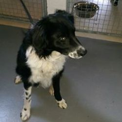 Found dog on 10 Feb 2016 in Priory Land Duleek. found....2yr old male Collie...brought in from Priory Land Duleek.microchipped but not registered..contact Meath pound on 087 0676766..thanks...ref 68