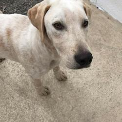 Reunited dog 10 Jul 2017 in Athboy. UPDATE REUNITED...found.....2yr old.Lab x ref 210... was thrown out of a car in Athboy yesterday. The poor boy is riddled with fleas and very underweight. Please text Kathy on 086 3696413 if you can foster this boy .