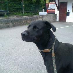 Found dog on 10 Jun 2013 in Celbridge. Black Labrador Male found on Stacummy Lane, Backweston, Celbridge. Not chipped, not neutered. Contact 0876314603.
