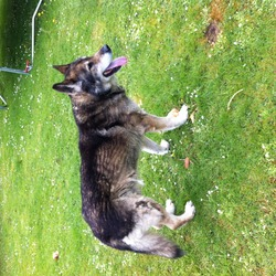 Found dog on 10 May 2014 in Leixlip Co Kildare . This German Shepherd Husky-type dog strayed into our garden four days ago but has been wandering around Leixlip for a few weeks.