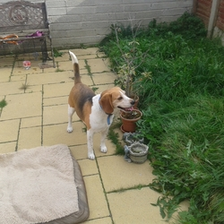 Found dog on 10 Oct 2015 in County Dublin. Male brown and white beagle with a blue ancol collar found in Balbriggan.