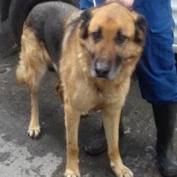 Found dog on 11 Apr 2017 in Glendoher , Rathfarnham. found, now in the dublin dog pound... Date Found: Monday, April 10, 2017 Location Found: Glendoher , Rathfarnham