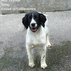Found dog on 11 Aug 2017 in collinstown. found..This lovely girl is in the pound and needs urgent foster. She is in heat so needs out asap. She is only young..Please text Kathy on 086 3696413 if you can help or fill in a foster form below. We provide all food/bedding and cover all vet costs. Please get in touch if you can help,....thanks..