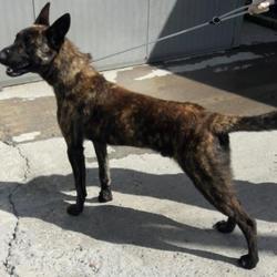 Found dog on 11 Aug 2017 in Village , Palmerstown. found, now in the dublin dog pound.. Date Found: Thursday, August 10, 2017 Location Found: Village , Palmerstown