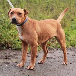 Found dog on 11 Dec 2014 in dublin.... found brown dog, now in the dublin dog pound..