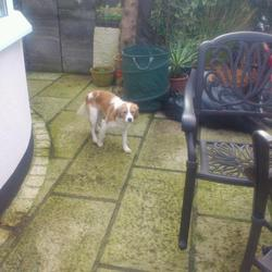 Found dog on 12 Feb 2013 in Kildare. Small mixed breed dog, possibly cavalier x, found kildare town area one week ago. No collar or chip. Please contact if you know this dog. Proof of ownership required.