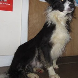Found dog on 11 Jan 2018 in Shillelagh area... found...is a male collie found in the Shillelagh area. Please contact Wicklow Dog Pound for further information at 0404-44873.