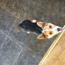 Found dog on 11 May 2013 in Raheny/Coolock. Hi I found a little jack Russell this morning on Springdale road Raheny Dublin 5 . He's very young maybe 10 months to 1 yr no chip or ID . Lovely temperament somebody must be looking for him