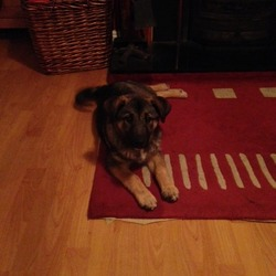 Found dog on 11 Nov 2013 in kinsale Cork . German Shepherd Cross puppy aprox  4 mts found in Kinsale