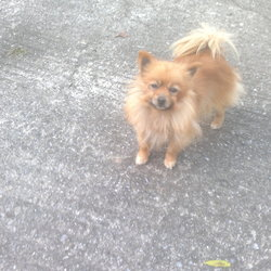 Found dog on 11 Oct 2015 in Doon/Cappawhite area. Small Pom found last evening - 6 year old chipped bitch.