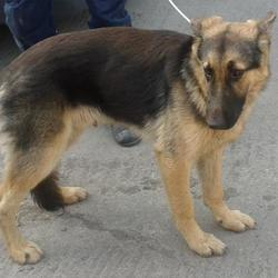 Found dog on 11 Sep 2014 in baldonnell. found gsd now in dublin dog pound.. Date Found: Wednesday, September 10, 2014 Location Found: Air Drone , Baldonnell