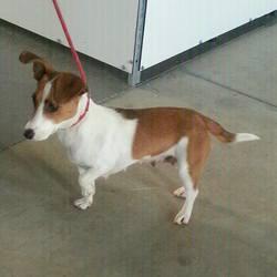 Found dog on 12 Dec 2014 in dunboyne. found female jrt...2yr old Female Jrt...found at train Station in Dunboyne...ref 578 .contact Meath Pound.
