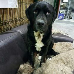 Reunited dog 12 Dec 2017 in Wilkinstown.Co. Meath... UPDATE REUNITED....found...2yr old Lab x Rottie...ref 361...found in Fletcherstown, Wilkinstown.Co. Meath...please contact Meath pound on 087 0676766...thanks