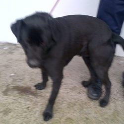 Found dog on 12 Feb 2014 in Drumconrath. Male entire - was found in Drumconrath - very active, full of energy, quite a handsome boy. Black lab. Now in meath pound 01 8026676
