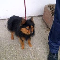 Found dog on 12 Feb 2014 in enfield. male black/Tan Pom x - was found in Blackwater Close, Enfield.Meath pound on 01 8026676