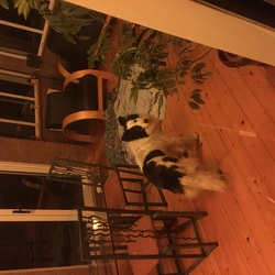 Found dog on 12 Feb 2015 in Walkinstown, Dublin . Black and White Collie type dog found near Walkinstown roundabout. Very friendly and has a red collar