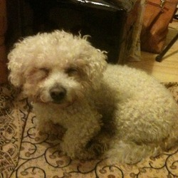 Found dog on 12 Jan 2014 in Dublin. male Bichon Frisee found around Portobello Road/Harbour on the canal at 7 o'clock this morning, not neutered, very placid dog, not sure yet if micro-chipped, black studded collar but no tag