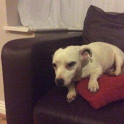 Found dog on 12 Jan 2016 in Lucan co dublin. Small dog found in Lucan co Dublin on 12/01/16. Female, not microchipped , please contact Sharon on 0863472438