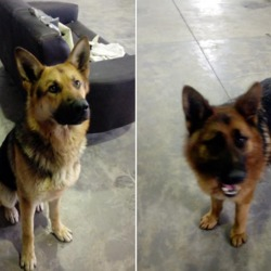 Found dog on 12 Mar 2018 in Creewood, Slane. found...Two male German Shepherds found in Creewood, Slane. The male on right is neutered. Share to reunite..... Proof of ownership required. Call 0870973911